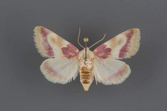 11166 Schinia regia female