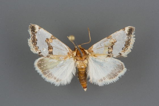 11199 Schinia chrysellus male