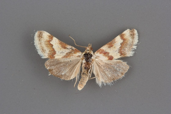 4826 Mimoschinia rufofascialis male