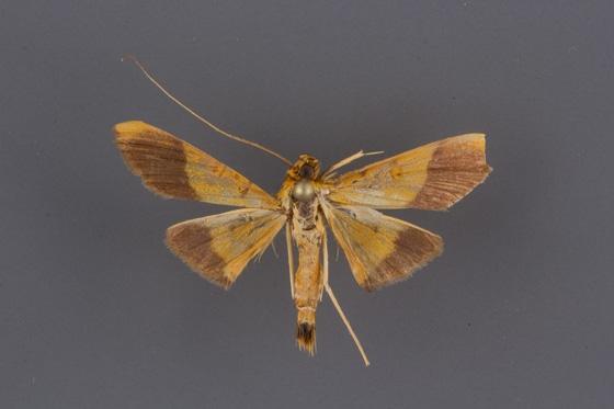 5041 Pyrausta augustalis male