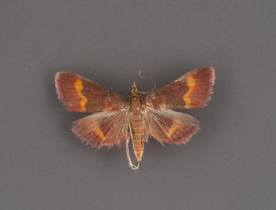 5053 Pyrausta pseuderosnealis male 2