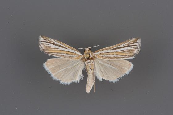 5440 Thaumatopsis magnificus male