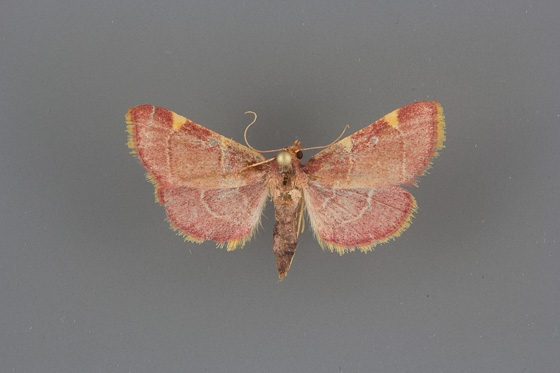 5533 Hypsopygia olinalis male