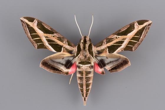 7864 Eumorpha vitis male