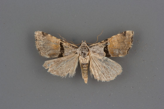 9017 Cobubatha orthozona male