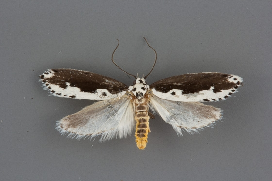 Ethmia semilugens male