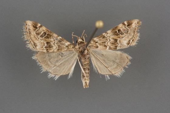 Hellula rogatalis male