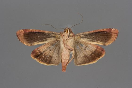 Magusa divaricata female ventral
