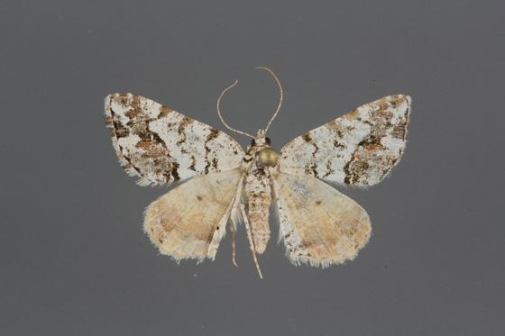 6311 Macaria graphidaria_