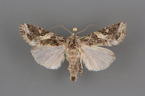 Spodoptera ornithogalli male