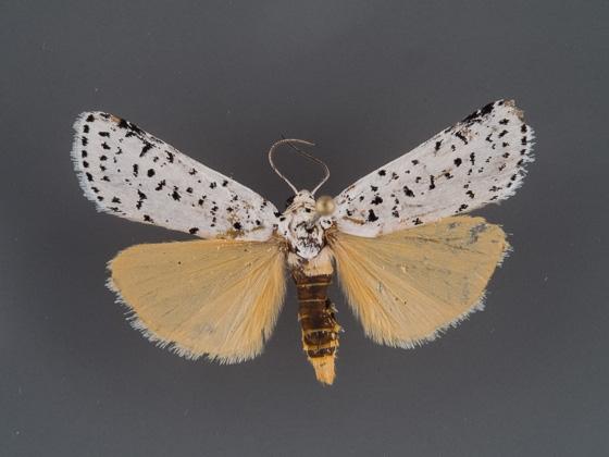 cerathosia-tricolor