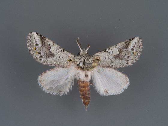 7968 Litodonta hydromeli male