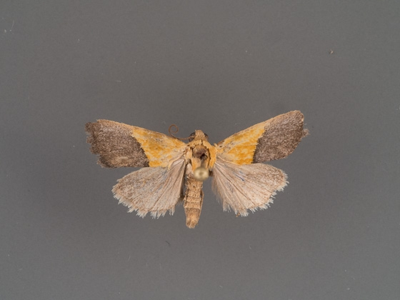 ponometia-semiflava-male