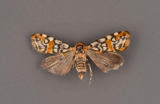 spragueia-guttata-female