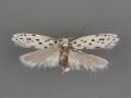 1007 Ethmia pratiella female