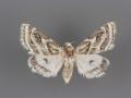 11150 Schinia accessa female