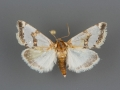 11199 Schinia chrysellus male