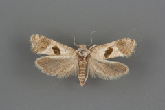 3789-Eugnosta-deceptana-female