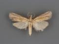 5431 Fissicrambus profanellus male