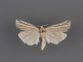 5452 Thaumatopsis bolterellus male