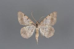 6410-Digrammia-pallidata