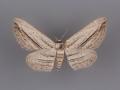 6453 Glena quinquelinearia female