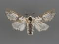 7936 Furcula borealis male