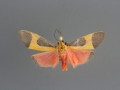 8075 Cisthene picta male