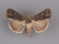 9561 Dypterygia patina