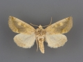 9780 Basilodes chrysopis male