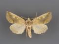 9780 Basilodes chrysopis male