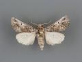 Aon noctuiformis male