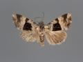 Cobubatha megaplaga male