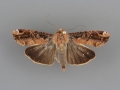 Magusa divaricata female
