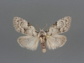 Meganola minuscula male