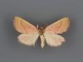 Phytometra orgiae male