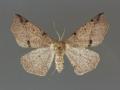 6957 Caripeta triangulata