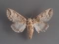 7978 Heterocampa astartoides female