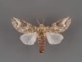 7978 Heterocampa astartoides male