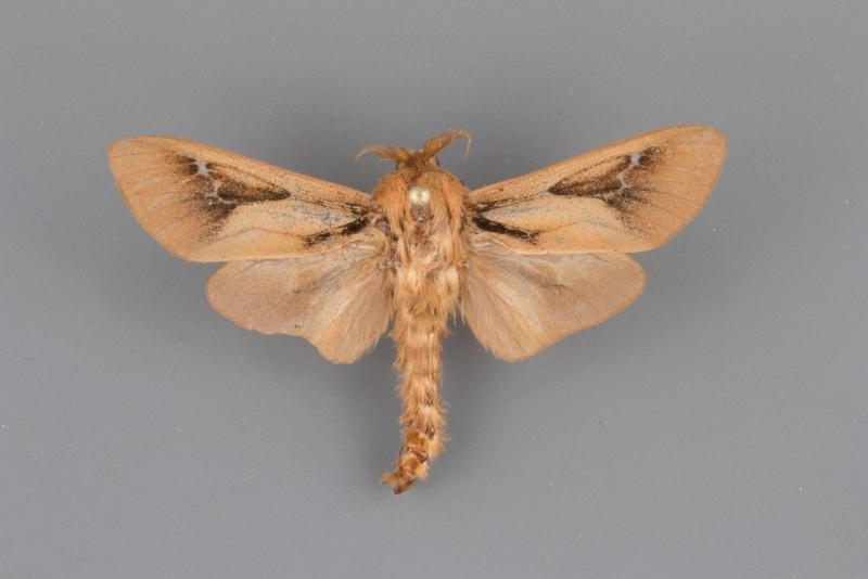 0453 Oiketicus townsendi male
