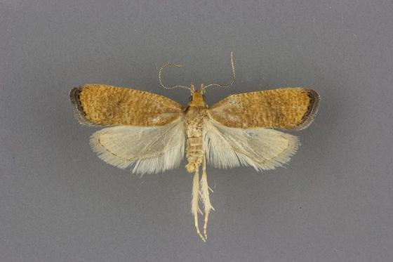 0958 Psilocorsis amydra male