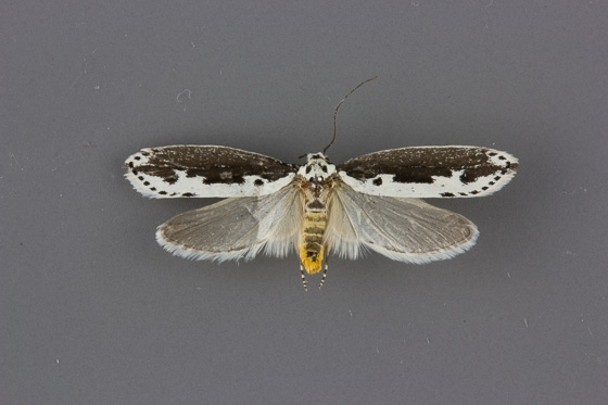 0976 Ethmia semilugens female