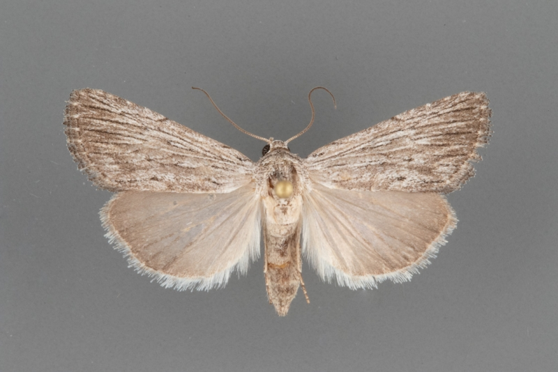 10033 Catabena lineolata female