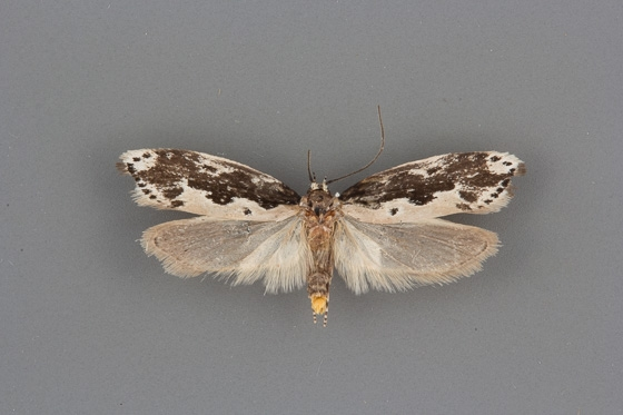 1004 Ethmia marmorea male