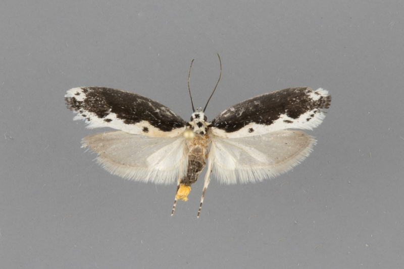 1006 Ethmia sphenisca male