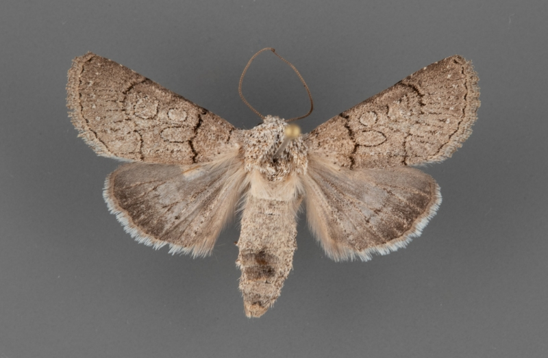 10074.1 Sympistis sorapis female