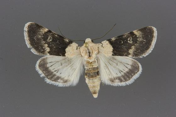 10089 Sympistis basifugens male