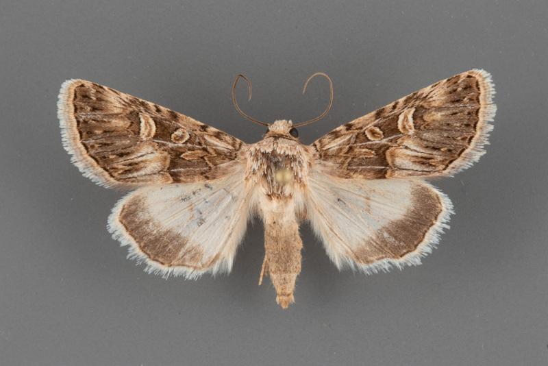 10094-Sympistis-sanina-male
