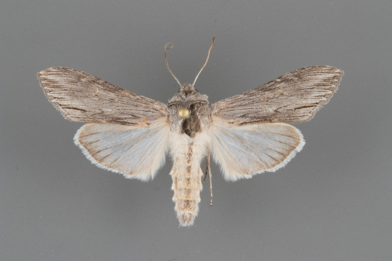 10191 Cucullia laetifica male