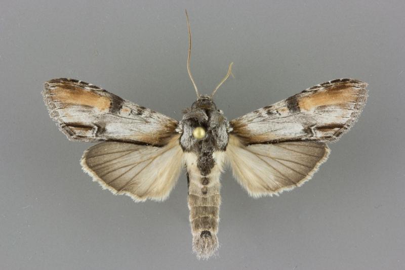 10196 Cucullia lilacina male
